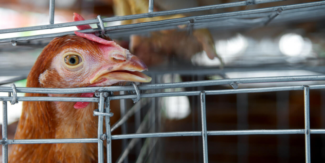 USDA Says Sick Chickens Could Be Sold; PETA Says Time to Go Vegan Is Now