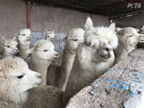 alpacas huddled together in fear