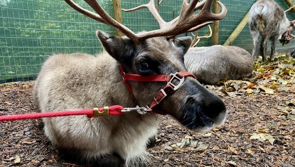 PETA Explains Problems With Reindeer Events Around Christmastime