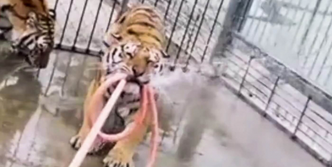 These Folks Learned the Hard Way: Big Cats Are Dangerous Predators