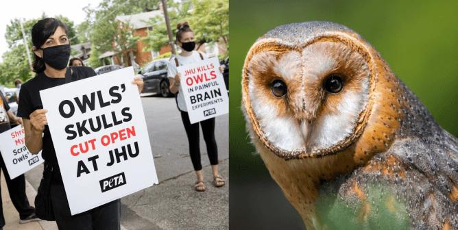 Owls' Skulls Are Cut Open at Johns Hopkins University