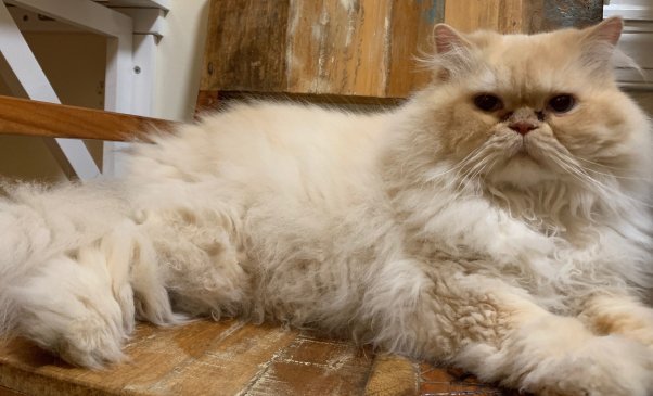 Marvin, a very handsome Himalayan cat rescued by PETA