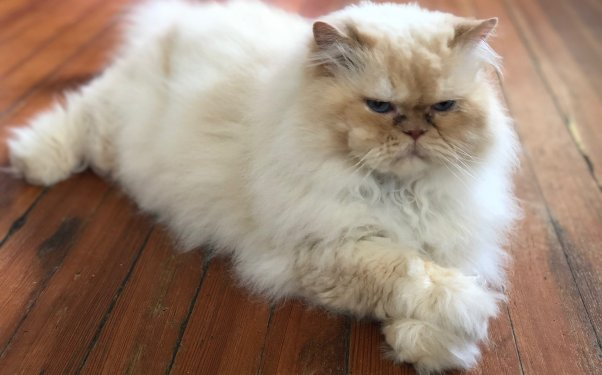 Marvin, a Himalayan cat rescued by PETA, looking very serious