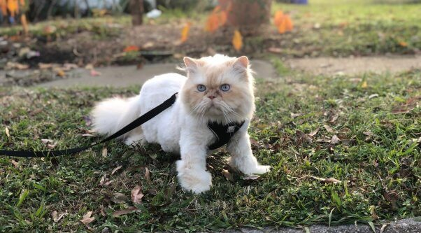 Marvin, a cat rescued by PETA, out for a stroll