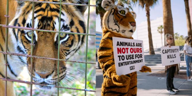 Animals In Entertainment Circuses Seaworld And Beyond Peta