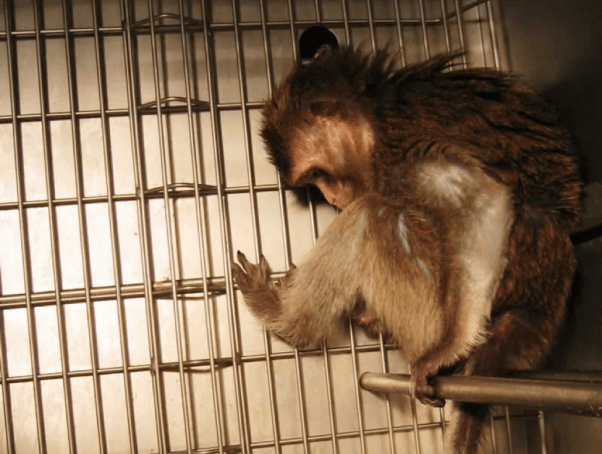 A monkey trapped in a cage at the Washington National Primate Research Center (WaNPRC)