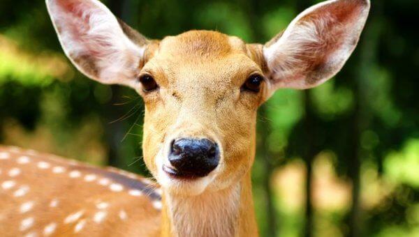 Urge City of Rockville, Maryland, to End Cruel Deer Killing Program!