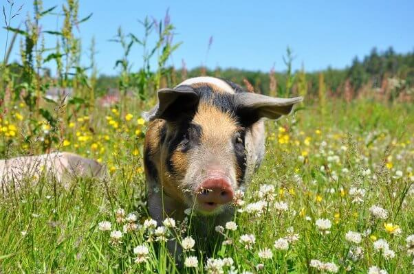 Pig in field of yellow and white flowers