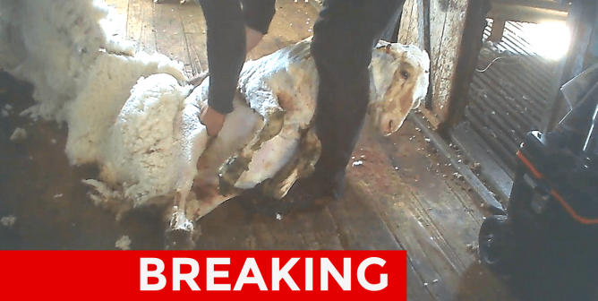 Shocking Scenes of Worker Cutting Up Pregnant Sheep in New PETA Exposé