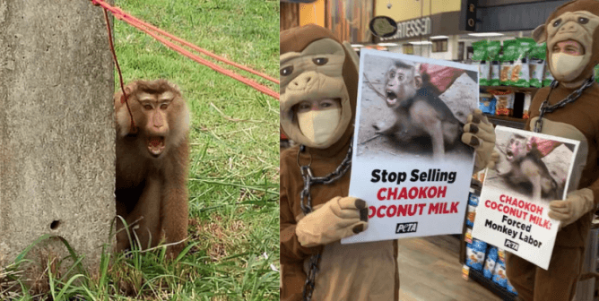 Help Stop Coconut Milk From Being Made Using Monkey Labor