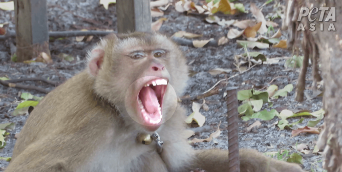 Monkeys Chained, Abused for Coconut Milk: A PETA Asia Investigation