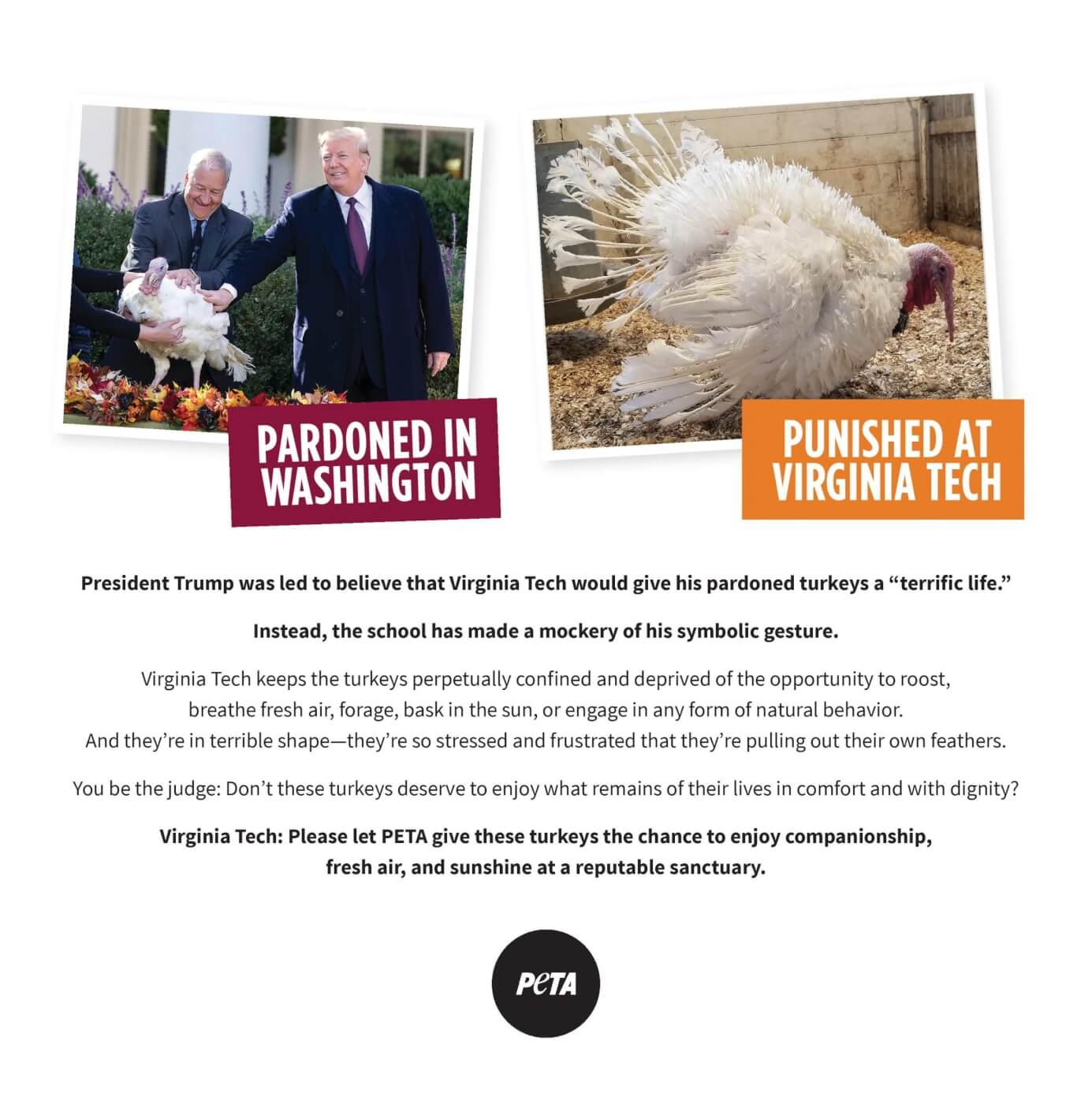 virginia tech pardoned turkeys peta ad