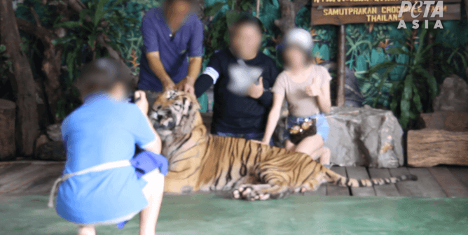 worker forces agitated, distressed tiger to pose with roadside zoo visitors