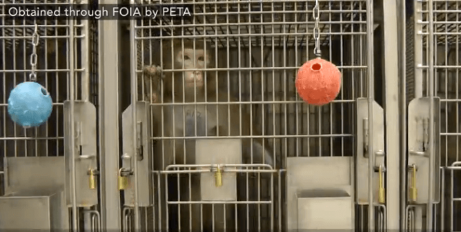 PETA Scientist Catches University of Washington Official LYING About COVID-19 Research
