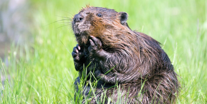 Update: Illinois HOA Halts Option for Lethal Beaver Control