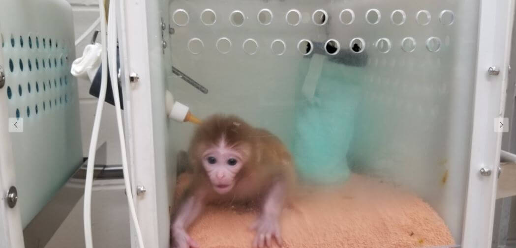 Infant monkey r20042 used for Zika experiments