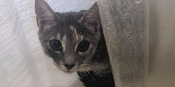 Pretty kitten rescued by PETA peeking from behind curtain