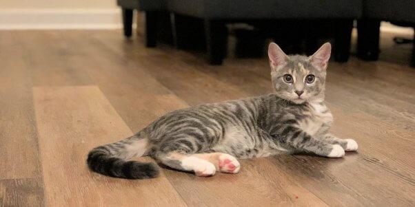 PETA-rescued kitten lying on wood floor