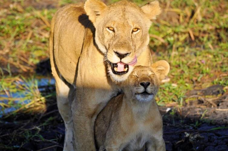 Mother and baby lion in the grass