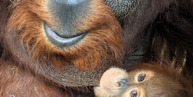 Orangutan Father Swings Into Action to Look After His Daughters