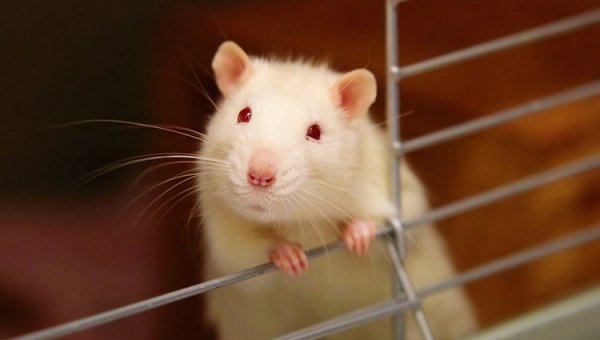 Mouse looks out of cage