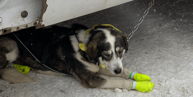 How COVID-19 Could Make This Deadly Dogsled Race Even Worse