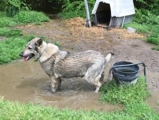 """Before"" photo of Wolfie standing in muddy water"