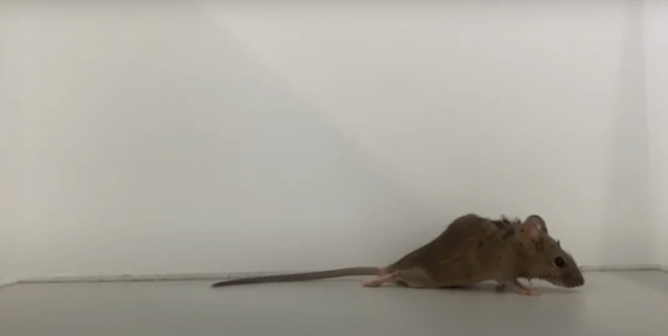 WATCH: Mice Struggle to Crawl After Experimenters Crush Spinal Cords