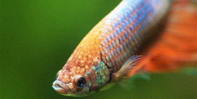 Pearl Hotel Stops Confining Betta Fish to Tiny Bowls in Hotel Rooms
