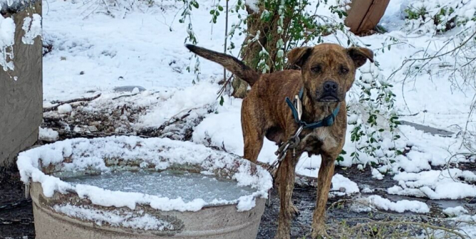 Cold skinny dog in snow with heavy chain on