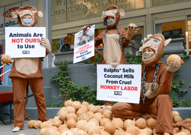 Monkeys Abused for Coconut Milk: Ask These Grocery Chains to Stop Supporting Forced Monkey Labor