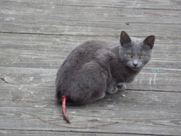 Gray cat with injured tail