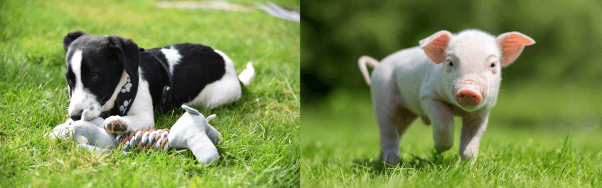 A puppy dog playing with a toy in the grass, wearing a harness, and a piglet running through grass