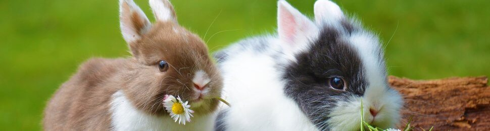 Two rabbits share a meal of flowers