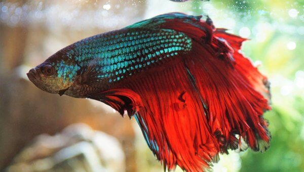 Help End the Suffering of Bettas by Telling Korean Air and EVA Air: Enough!
