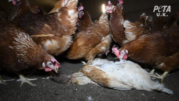 PETA U.K. Investigation: Rotting Chickens on Happy Egg Co. Supplier Farms