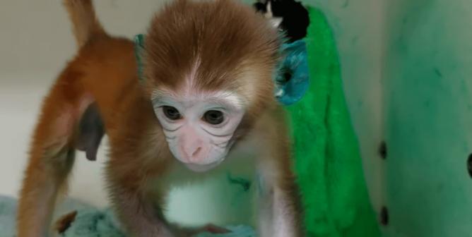 PETA Calls Out Monkey Experimenters' Lies: Close Down Monkey Prisons!