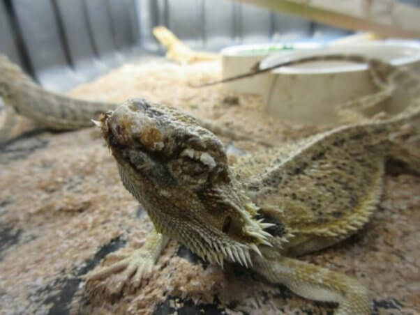 """bearded dragon at a """"pet"""" supplier"""