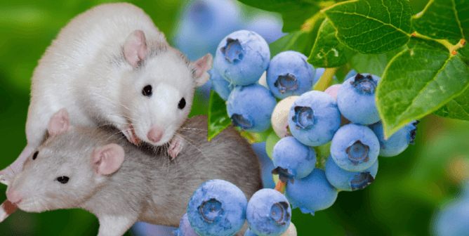 Animals Beheaded for Blueberries? USDA Farmer 'Tax' Funds Cruel Tests