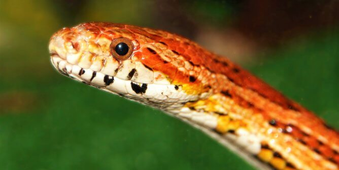 Is a Snake a 'Starter Pet'? No—Here's Why