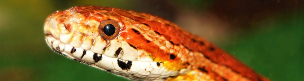 Orange and white corn snake with blurry green background