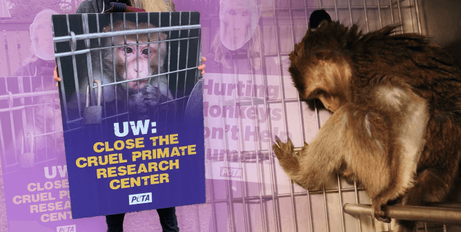 PETA Exposé: Toxic Waste, Disease, and Dead Monkeys at UW Monkey Facilities