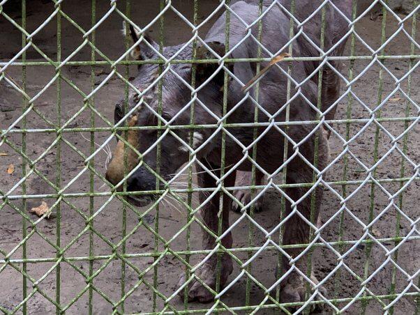 lila dead tiger waccatee zoo south carolina