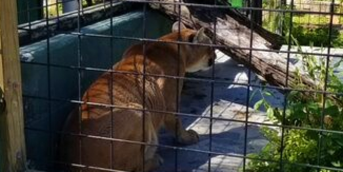Two Cougars and a Bear Are Forced to Live in Barren, Concrete-Floored Enclosures—Act Now!