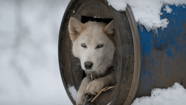 Tell Internet Service Provider GCI to Stop Powering the Deadly Iditarod