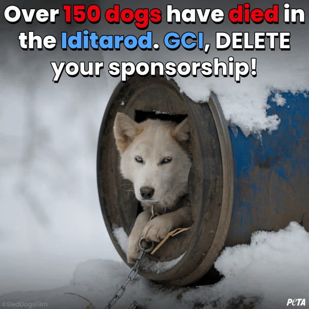 Over 150 dogs have died in the Iditarod. CGI, DELETE your sponsorship.