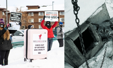 PETA to Millennium Hotels: Drop Cruel Iditarod Sponsorship—Tout de Suite!