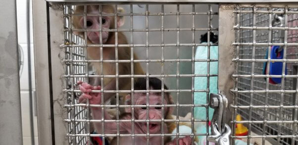 Baby monkeys Cora and Turnip at the Wisconsin National Primate Research Center