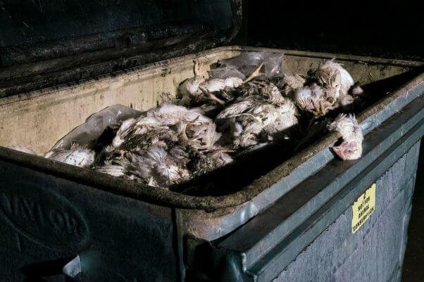 dead chickens in bin outside of chicken farm shed