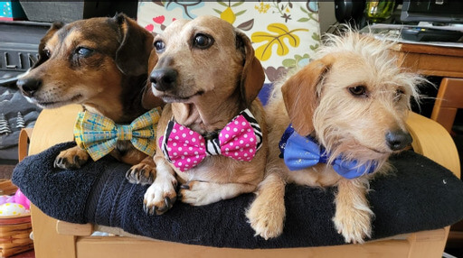 dogs in bowties